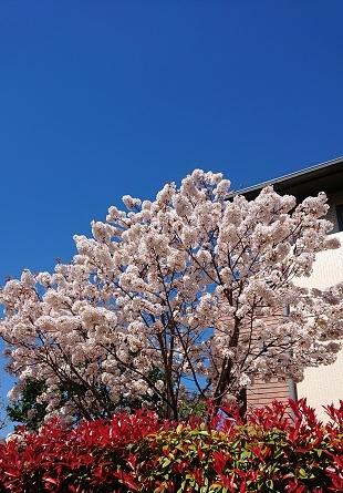 2019山川家桜