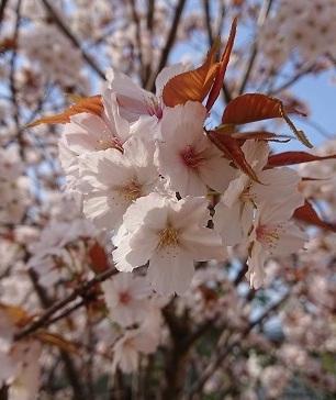 2020桜2
